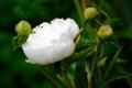 Tender white flower Royalty Free Stock Photo