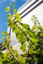 Tender and young grape branches trying to reach the sun growing high. Royalty Free Stock Photo