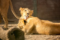 Tenderness young lions licking each other Royalty Free Stock Image