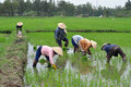 Tending rice plants vietnamese workers to young Stock Photo