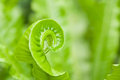 Tendril fern Stock Image