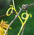 Tendril grape leaves and a Stock Photography