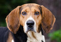 Tennesee Treeing Walker Coonhound Royalty Free Stock Photo