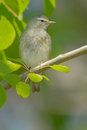 Tennessee Warbler Royalty Free Stock Photo