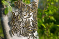 Tent Caterpillars Royalty Free Stock Photo