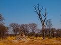 Termite hill in okavango region moremi game reserve botswana Royalty Free Stock Photos