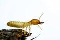 Termite macro Royalty Free Stock Photo