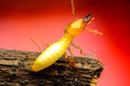 Termite macro walking on the branch Stock Images