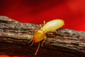 Termite macro walking on the branch Royalty Free Stock Photos