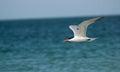 A Tern in Florida