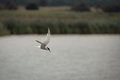 Tern hunting over water a common similar to the arctic in flight preparing to dive for fish above the of rspb minsmere suffolk uk Stock Photo