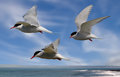 Terns head out to Sea Royalty Free Stock Images