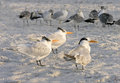 Terns and Other Birds on the Beach, Florida Stock Image