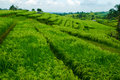 Terrace rice fields bali indonesia beautiful Royalty Free Stock Image