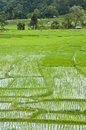 Terrace rice fields in Thailand. Royalty Free Stock Photo