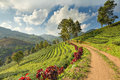 Terrace Tea Plantation with Mist Cloud Sky at Doi Mae Salong Mountain, Chiangrai, Thailand Royalty Free Stock Photo