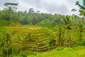 Terraced fields rice in bali Royalty Free Stock Photo