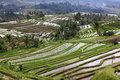 Terraced rice Stock Images