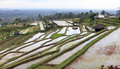 Terraced rice Stock Image