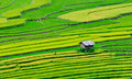 Terraced rice field in Mu Cang Chai, northern Vietnam Royalty Free Stock Photo