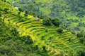 Terraced rice fields himalayas nepal vibrant green Royalty Free Stock Images