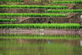 Terraced rice fields in northern Thailand Stock Photos