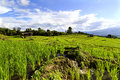 Terraced rice fields in thailand Royalty Free Stock Image