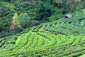 Terraced tea plantation and cottage at Doi Ang Khang in Chiang Mai, Thailand Royalty Free Stock Photo