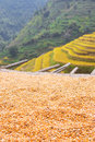 Terraces corn Royalty Free Stock Photo