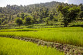 Terraces with green rice fields in nepal Stock Image