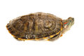 Terrapin Royalty Free Stock Photos