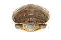 Terrapin Stock Photo