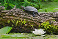 Terrapin on a river Royalty Free Stock Photo