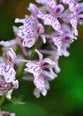 Pozemní orchidej