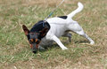 Terrier dog sniffing jack russell Royalty Free Stock Image