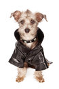 Terrier dog with spiked collar and leather jacket a small mixed breed wearing a skull crossbones a black a mohawk Royalty Free Stock Images