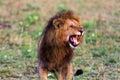 Terrifying roar of a african lion. Masai Mara Royalty Free Stock Photo