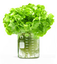 Testing Hydroponic Lettuce Beaker Food Stock Images