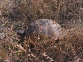 Testudo graeca adult greek turtle eating grass Royalty Free Stock Photos
