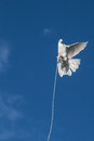 Tethered bird a white pigeon testing its freedom at the weekly market in istanbul turkey Royalty Free Stock Photography
