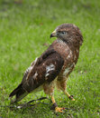 Tethered Broad-Wing Hawk (Buteo platypterus) Stock Image