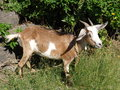 A tethered goat in the tropics female grazing on bequia grenadines islands Royalty Free Stock Photography