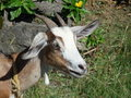 A tethered goat in the tropics female tied with rope on caribbean island of bequia Royalty Free Stock Image