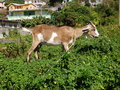 A tethered goat in the tropics on top of wall on tropical island of bequia Stock Photo
