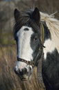 Tethered horse portrait Royalty Free Stock Photography