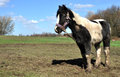 Tethered muddy black and white horse neglected Royalty Free Stock Images