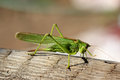 Tettigonia viridissima Royalty Free Stock Photo