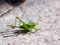 The Tettigonia viridissima (Tettigonia viridissima) Royalty Free Stock Photo