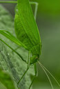 Tettigoniidae/ Katydids or bush crickets Royalty Free Stock Photo