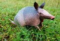 Texas armadillo Royalty Free Stock Photo